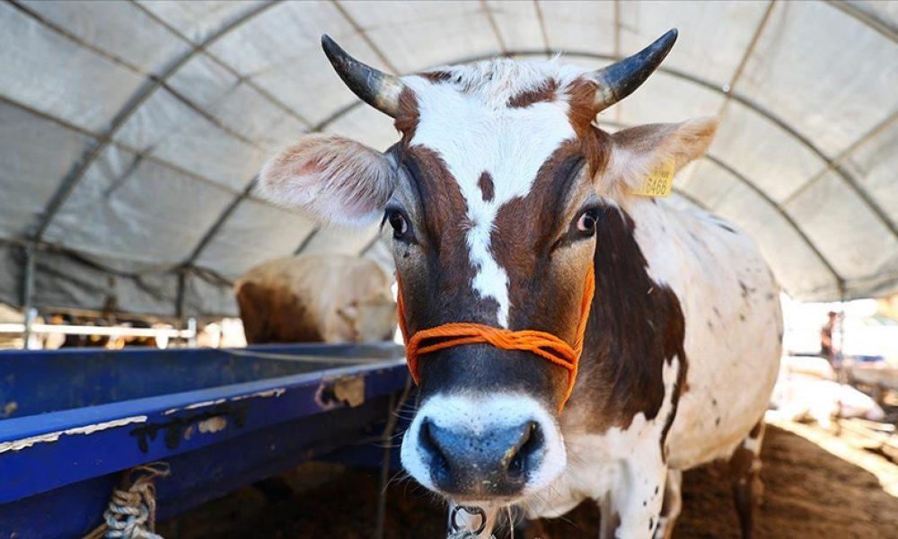 İklim krizi: Almanya'da bilim insanları ineklere tuvalet eğitimi verdi